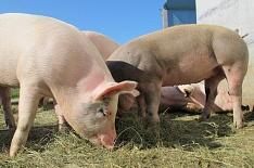 Во Владимирской области поголовье свиней сократилось вдвое
