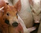 Россельхознадзор обеспокоился содержанием свиней в Тульской области