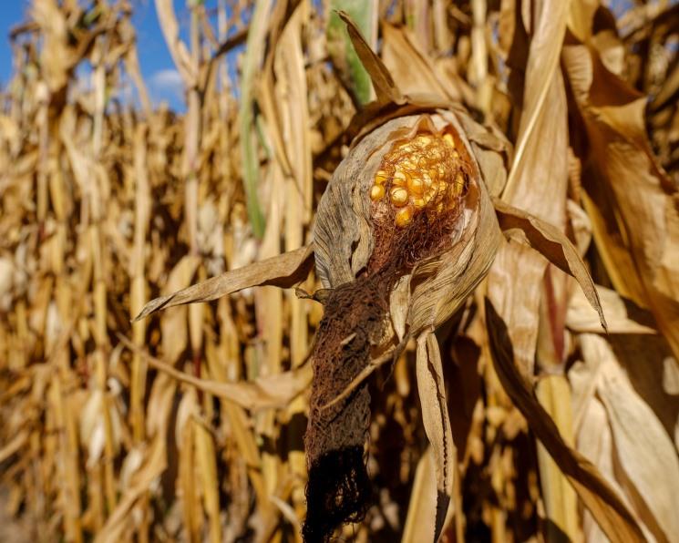 Урожай кукурузы может снизиться на 26%