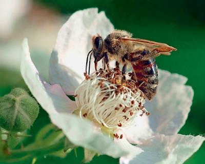 Популяция пчел в США стремительно уменьшается