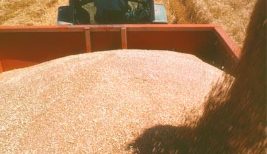 Прогноз урожая зерна вРоссии снижен до71,4 млн т