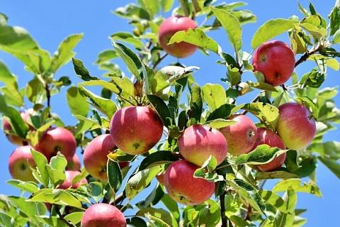 В Крыму появится яблоневый сад за 1,3 млрд рублей