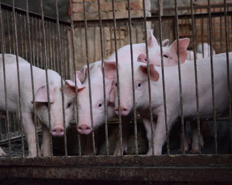 Правительство включило впродэмбарго живых свиней имясные субпродукты