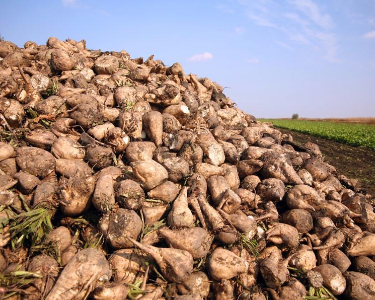 Засуха вернула свекловодам маржу. Снижение урожая способствовало росту цен