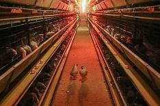 Под Петербургом выставлены на торги две птицефабрики