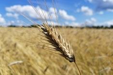 Пшеница подорожала до трехлетнего максимума