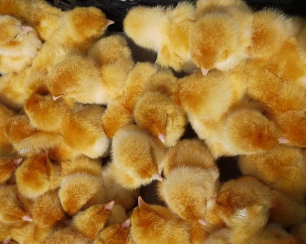 Разработан метод определения пола цыплят настадии эмбриона