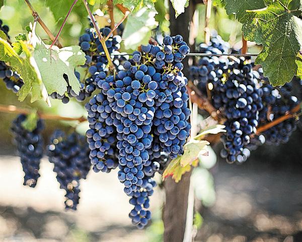 Наразвитие виноградарства нужно свыше 79млрдруб.