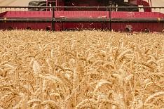 Урожайность зерновых снизилась на21%