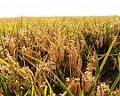 Урожай риса наКубани может достичь рекорда