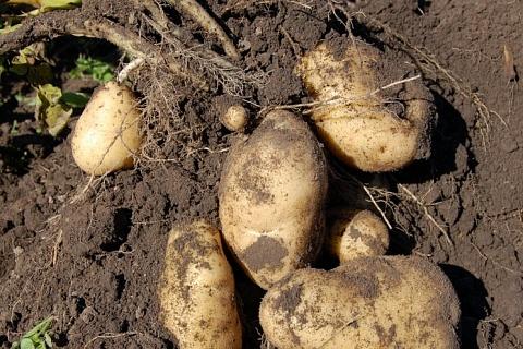 Урожай картофеля и овощей прогнозируется на уровне прошлого года