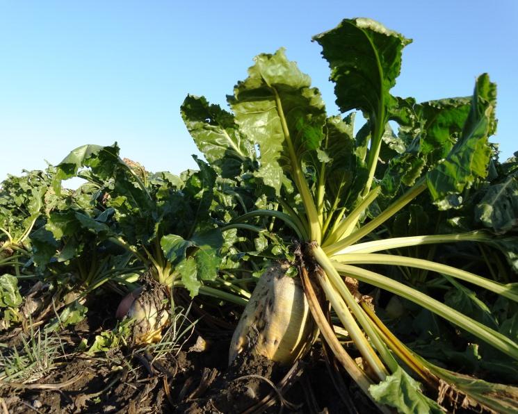 срок вегетации сахарной свеклы