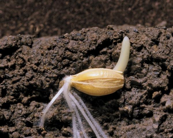 Уход отсеменной зависимости: каковы перспективы импортозамещения вроссийском семеноводстве