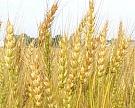 Пшеница подешевела на40%