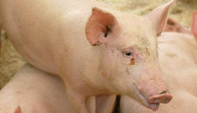 Африканская угроза свиноводству