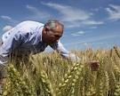 Прогноз урожая зерновых сокращен до85 млн т