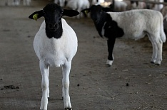 «Мираторг» начал выращивать овец