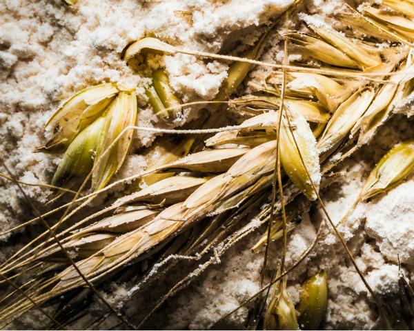 Мукомолы обеспокоены низким качеством пшеницы нового урожая