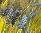 Древние сорта зерновых вернулись наполя