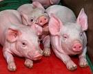 Оптимальный микроклимат вкорпусах для свиноводства