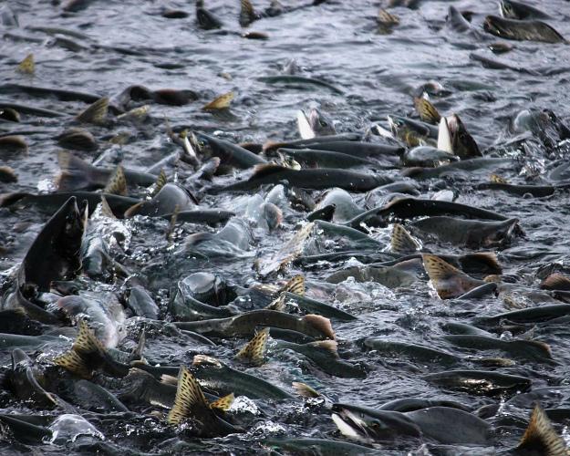 Для выращивания рыбы вРоссии сформировано 103 тысячи гановых участков
