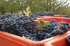 Господдержка виноградарства удвоится