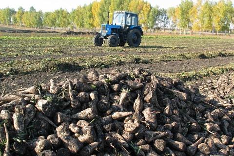 Аграриям Кубани рекомендовано сократить сев сахарной свеклы на 15-20%