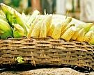 Урожай кукурузы— 6,5 млн т ¬