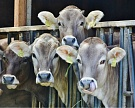 THTrue Milk инвестирует $1,5 млрд вДальний Восток