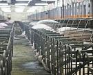 Russia Baltic Pork Invest начала строить еще один свинокомплекс