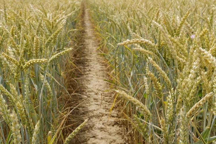 Урожай зерна будет ниже среднего