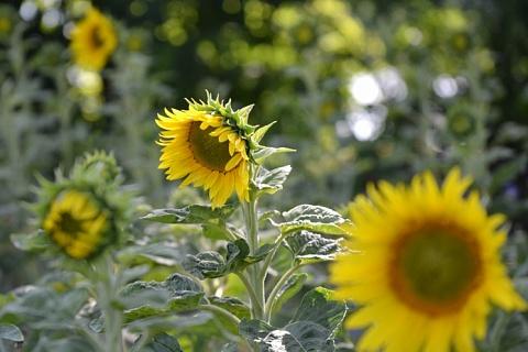 Минсельхоз: за год долю отечественных семян подсолнечника нужно увеличить на 10-15%