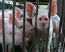 Запрещен ввоз в Россию свинины из Латвии