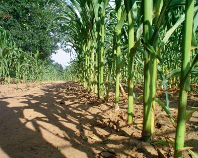 Ущерб от сорняков равен половине стоимости урожая