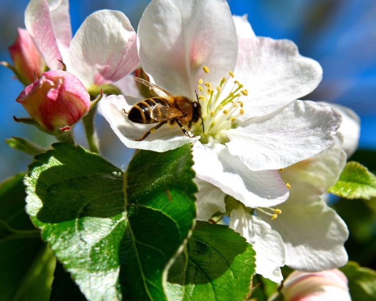 Яблони нуждаются в разнообразных опылителях