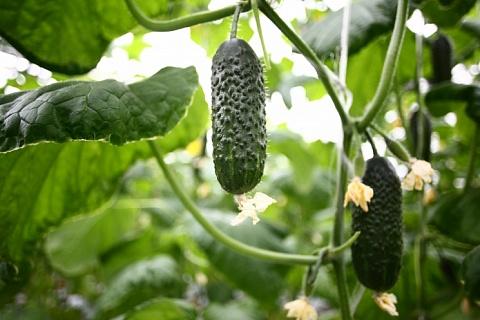 Подмосковье хочет стать лидером в производстве тепличных овощей