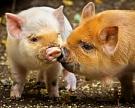 Родословная для свиньи