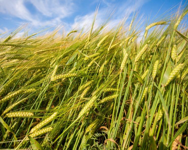 Сев яровой пшеницы может стать рекордно низким