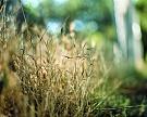 Чужие экосистемы превращают культурные растения всорняки