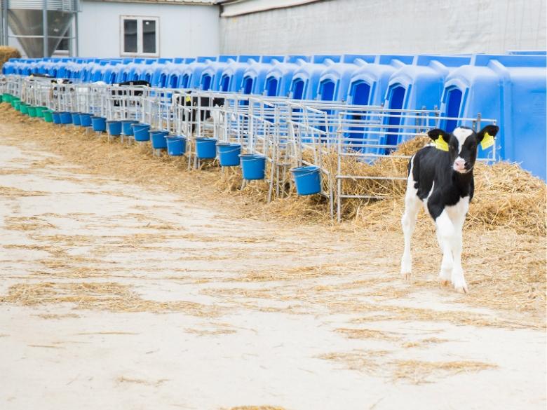 Производство телятины на молочные субсидии