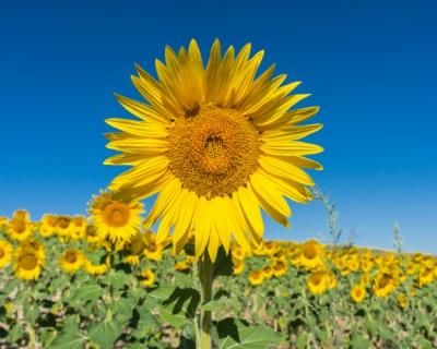 Подсолнечное счастье: эксперты прогнозируют небывалый спрос наподсолнечник