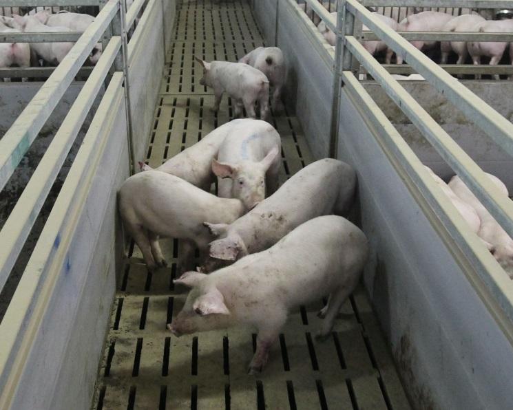 «Агроэко» вложит 10 млрд рублей втульский свиноводческий проект