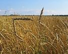 Экспорт зерна в сентябре может стать рекордным