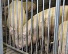 Россельхознадзор остановил транзитную партию свиного шпика на границе с Латвией