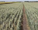 ФАО ООН сократило прогноз мирового производства зерновых