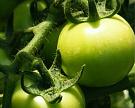 Компания «Овощи Черноземья» построит тепличный комплекс в Липецкой области