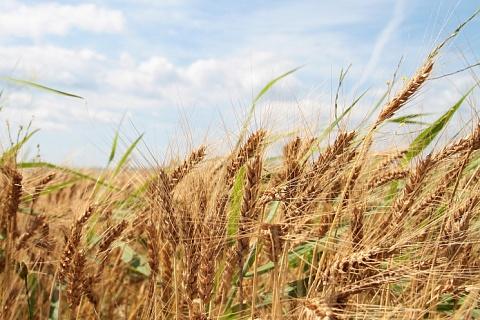 В Саратовской области на 200 тысячах гектаров погиб урожай