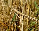 Урожайность зерновых пока выше прошлогодней