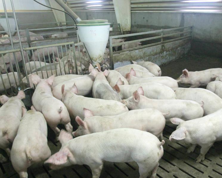 У «Мираторга» обнаружена чума свиней