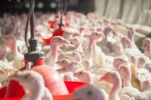 Российский комплекс Aviagen начал поставку инкубационного яйца индейки